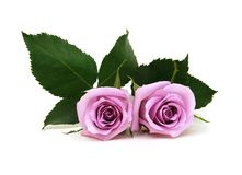 Violet rose flowers. On white background Stock Photos
