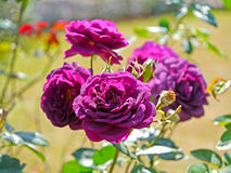 Violet rose. In the garden Royalty Free Stock Photography