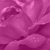 Violet rose macro Stock Images