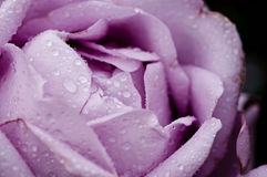 Violet rose macro Stock Photos