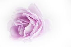 Violet rose petals. On white background with copy space royalty free stock image