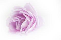 Violet rose petals Royalty Free Stock Image