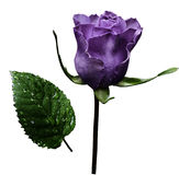 Violet rose  on white isolated background with clipping path.  No shadows. Closeup.  A flower on a stalk with green leaves after a Royalty Free Stock Images