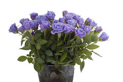 Violet roses Stock Image