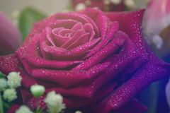 Violet roses with waterdrops. Colorful background. Violet roses with waterdrops in bouquet. Colorful background royalty free stock photos