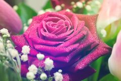 Violet roses with waterdrops in bouquet. Colorful background. Macro royalty free stock photography