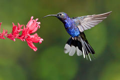 Violet Sabrewing. Adult Male Violet Sabrewing Hummingbird Feeding at Red  Flower Royalty Free Stock Images