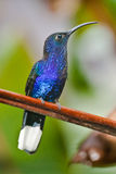 Violet Sabrewing Royalty Free Stock Photos