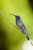 Violet Sabrewing (Campylopterus hemileucurus). On a branch with a green background Royalty Free Stock Photos