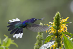 Violet Sabrewing, Campylopterus hemileucurus. Violet Sabrewing in flight eating nectar from a flower Stock Image
