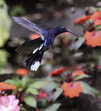 Violet Sabrewing Campylopterus hemileucurus. Violet Sabrewing Hummingbird in flight Royalty Free Stock Image