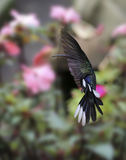 Violet Sabrewing Campylopterus hemileucurus Stock Photos