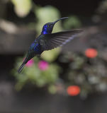 Violet Sabrewing Campylopterus hemileucurus. Violet Sabrewing Hummingbird in flight Royalty Free Stock Images