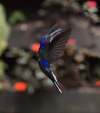 Violet Sabrewing Campylopterus hemileucurus. Violet Sabrewing Hummingbird in flight Stock Images