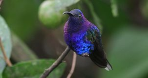 Violet Sabrewing - Campylopterus hemileucurus very large hummingbird native to southern Mexico and Central America