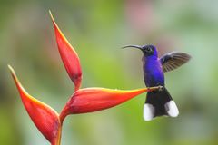 Violet Sabrewing - Campylopterus hemileucurus. Beautiful blue hummingbird from Costa Rica La Paz Royalty Free Stock Photo