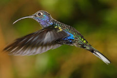 Violet Sabrewing Humming bird Stock Image