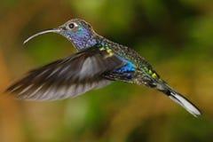 Violet Sabrewing Humming fågel Fotografering för Bildbyråer