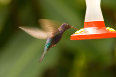 Violet Sabrewing Hummingbird Royalty Free Stock Photography