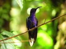 Violet Sabrewing Hummingbird Stock Photography