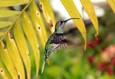 Violet Sabrewing Hummingbird. Violet Sabrewing (Campylopteros Hemileucurus) Hovering, La Paz Waterfall Gardens, Costa Rica Stock Photo