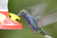 Violet Sabrewing Hummingbird, Costa Rica Royalty Free Stock Images
