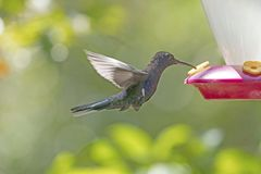 Violet Sabrewing Hummingbird in Flight Stock Image