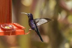 Violet Sabrewing Hummingbird. A violet Sabrewing hummingbird feeds at a feeder in the La Paz Waterfall Gardens in Costa Rica Stock Images