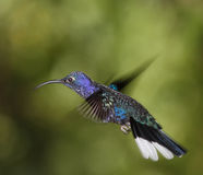 Violet Sabrewing male. In flight Royalty Free Stock Photography