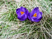 Violet Saffron Crocus Blossoms Blooming In Spring On Yellow Grass Royalty Free Stock Images