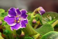 Violet saintpaulia Stock Image