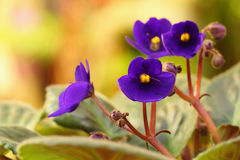 Violet saintpaulia Stock Photos