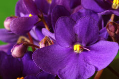 Violet saintpaulia macro Stock Photos