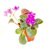 Violet Saintpaulias floresce em um vaso marrom, conhecido geralmente como violetas africanas, violetas de Parma, fim acima, isola imagem de stock royalty free