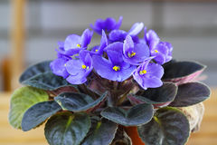 Violet Saintpaulias flowers commonly known as African violets Stock Photos