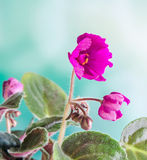 Violet Saintpaulias flowers, commonly known as African violets, Parma violets, close up. Stock Photos