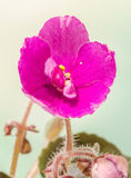 Violet Saintpaulias flowers, commonly known as African violets, Parma violets, close up. Royalty Free Stock Images
