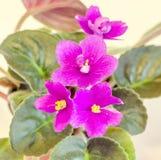 Violet Saintpaulias flowers Royalty Free Stock Photography