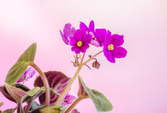 Violet Saintpaulias flowers, commonly known as African violets, Parma violets, close up, isolated Royalty Free Stock Photos