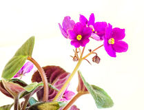 Violet Saintpaulias flowers, commonly known as African violets, Parma violets, close up, isolated Stock Photography