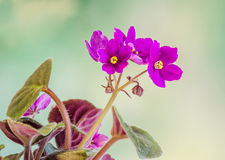 Violet Saintpaulias flowers, commonly known as African violets, Parma violets, close up, isolated Stock Images