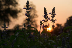 Violet salvia flower with sunset. Meadow with blooming Blue Salvia herbal flowers Royalty Free Stock Photos