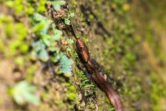 Violet-sanded snake Stock Image