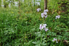 Violet saponaria flowering plants at forest. Grass soap. Soapwor Stock Photography