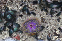 Violet sea anemone Stock Photos
