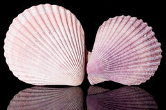 Violet sea shells on black background close up Stock Photo