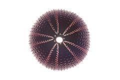 Violet sea urchin (echinoderm) on white background. Studio lightning Royalty Free Stock Photography