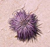 Violet Sea Urchin púrpura fresca varada que se seca en la arena Imagen de archivo libre de regalías