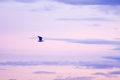 Violet seagull. Seagull flying on a violet sunset Stock Photo