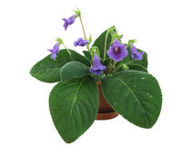 Violet sinningia Royalty Free Stock Photography